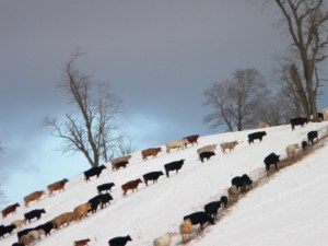 Cows in the snow